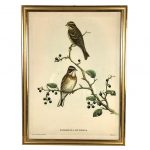 gravure-oiseaux-bruant